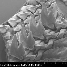 Rasterelektronenmikroskop-Aufnahme eines Teils der Raspelzunge einer Käferschnecke. Gut sichtbar sind die vier dreizackigen Zähne. IGVP